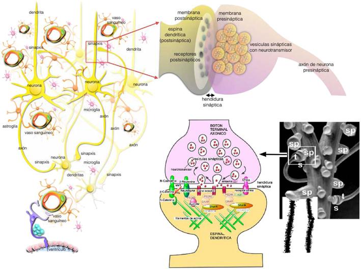 Plasticidad Neural La Sinaptogénesis Durante El Desarrollo Normal Y