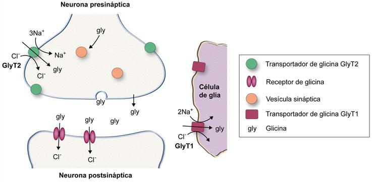 Fisiopatología De Los Transportadores De Glutamato Y De